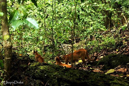 Drake Bay, Costa Rica: Puma, La Leona