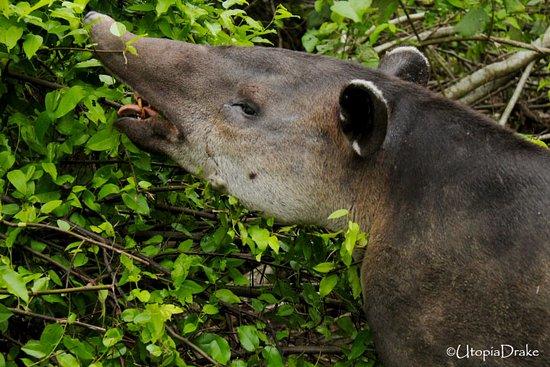 Drake Bay, Kosta Rika: Tapir, Sirena