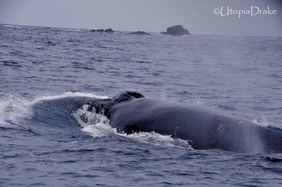 Drake Bay, Costa Rica: Humpbak whale