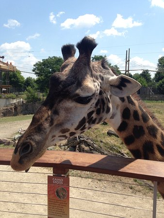 Toledo, OH: Up close and personal with Charlotte, the giraffe!