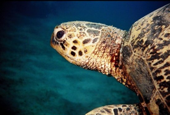 Paradise Sunset Bungalows: so many turtles in the Bay