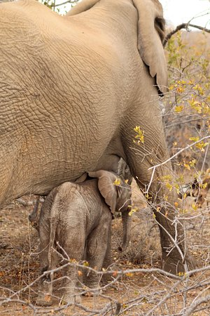 Balule Private Game Reserve, Afrika Selatan: 3-day old baby Elephant