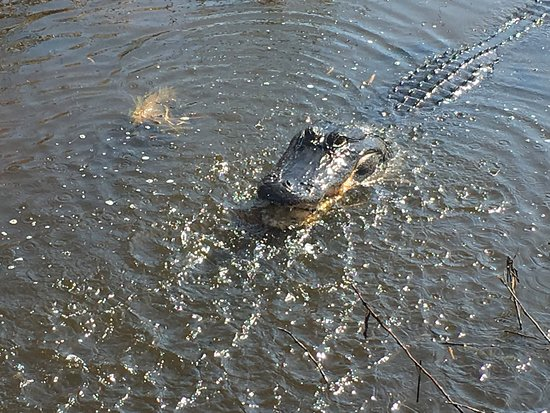 Saint Cloud, FL: Gator