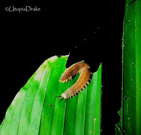 Drake Bay, Costa Rica: Onicoforo, Night Walk