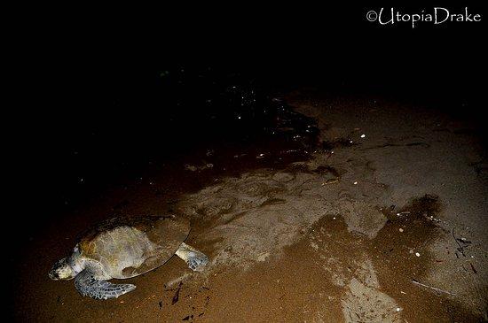 Drake Bay, Costa Rica: Sea Turtle Tour