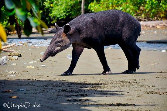 Drake Bay, كوستاريكا: Tapir, Sirena