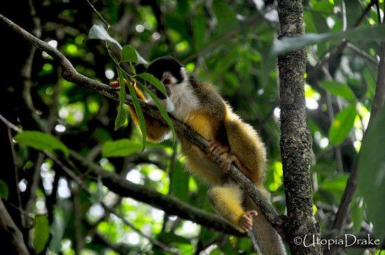 Drake Bay, คอสตาริกา: Squirrel monkey, Sirena