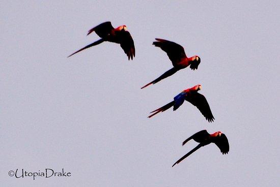 Ara macaw, Drake Bay