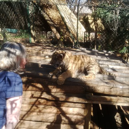 The Farm Inn: Playing with Sultan the tiger cub