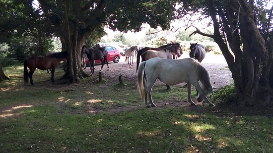 Highcliffe, UK: New Forest ponies