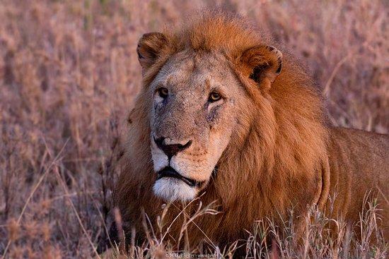 Regio Arusha, Tanzania: Huge male lion at Serengeti