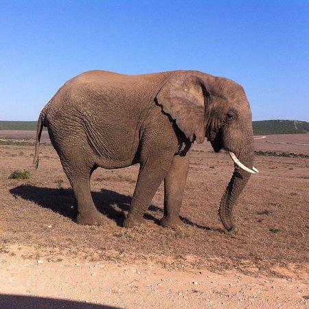 Addo Elephant National Park, Sudáfrica: Elephant