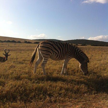 Addo Elephant National Park, Afrika Selatan: Zebra!
