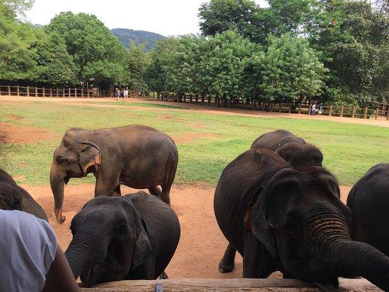 Pinnawala, Sri Lanka: photo2.jpg