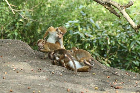 Tangalle, Sri Lanka: Monkeys at Mulkirigala Rock Monastery