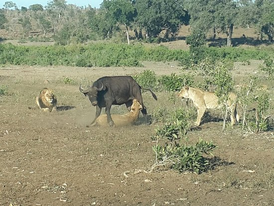 Satara Rest Camp: Two lionesses take down a buffalo right before our very eyes.