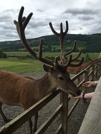 Aberfeldy, UK: The stag gently eating from a child's hand.