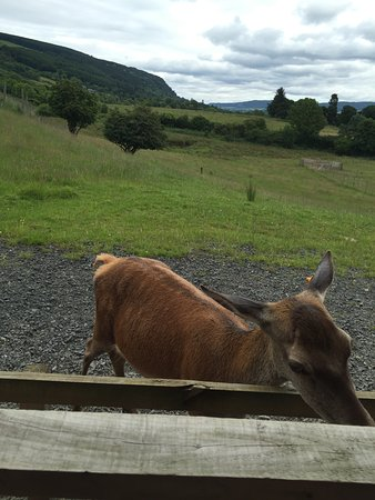 Aberfeldy, UK: A hind getting in on the feeding action.