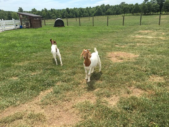 Fairfield, Pennsylvanie : The goats.