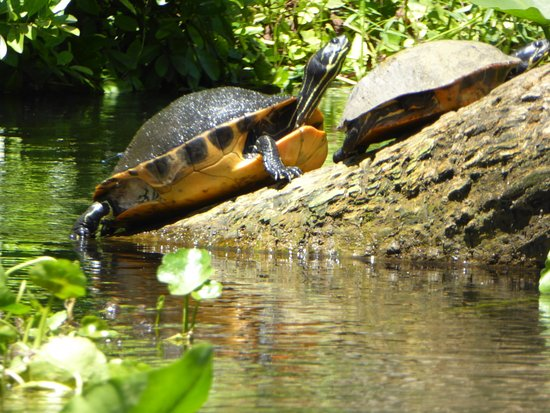 Wekiwa Springs State Park: Waterschildpadden Wekiwa