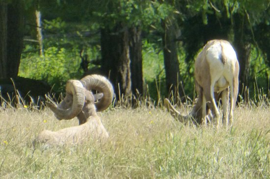Eatonville, WA: Ewes viewed from the tram