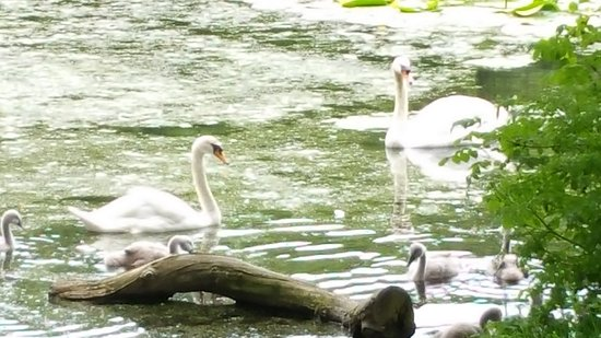 Maybole, UK: swan family - Swan Lake