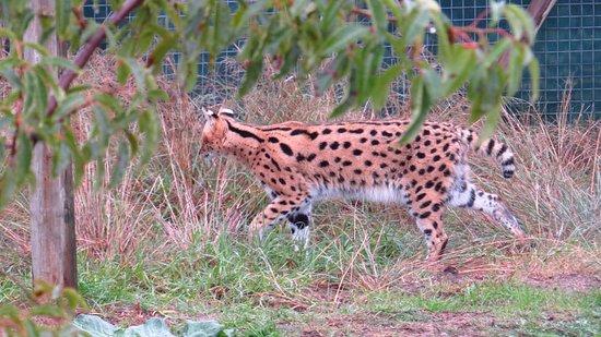 ซอเมอร์เซ็ตเวสต์, แอฟริกาใต้: Serval