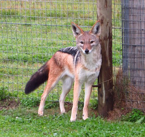 ‪‪Somerset West‬, جنوب أفريقيا: Black-backed Jackal‬