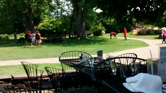 Saint Andrews, Canada: Viewing the alpacas while at the café