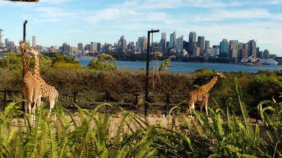 Mosman, Australia: Taronga Zoo giraffes