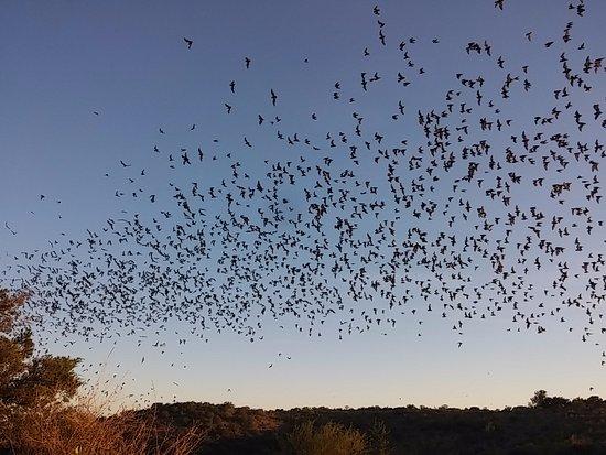 Concan, تكساس: Bats