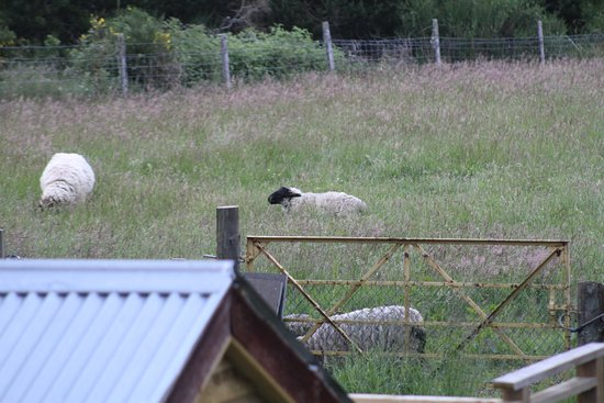 Dulnain Bridge, UK: Sheep view from our room