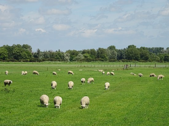 Lutjebroek, Belanda: Schapen in de wei;july 2016