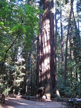 Felton, Californie : Not the best pic - most trees are larger!