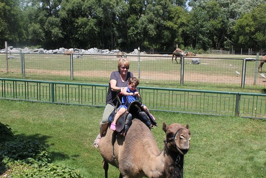 Bowmanville, Канада: a camel ride