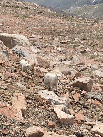 Mount Evans: Baby mountain goats!