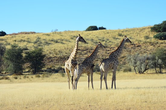 Upington, South Africa: giraffe