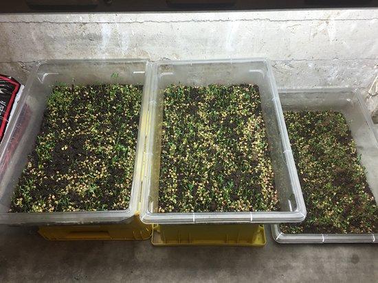 Γουάλα Γουάλα, Ουάσιγκτον: Herbs