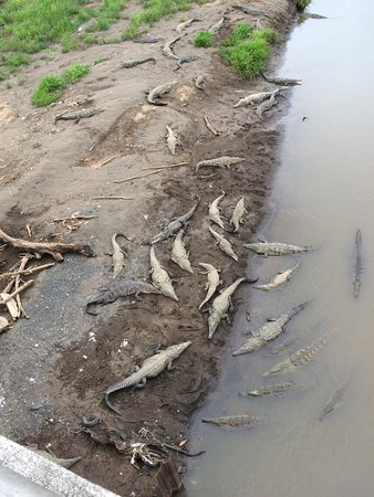 Crocodiles under the Tarcoles bridge