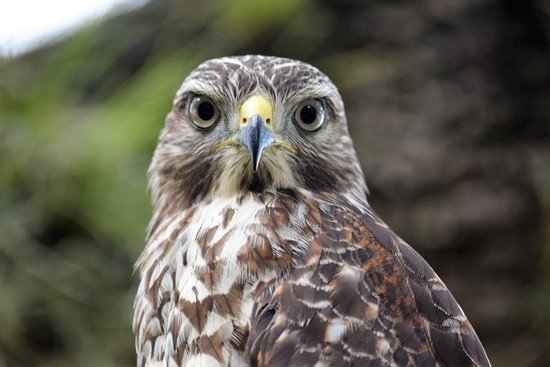 Okeechobee, FL: Close up of a Juvenile Red-shoulder hawk