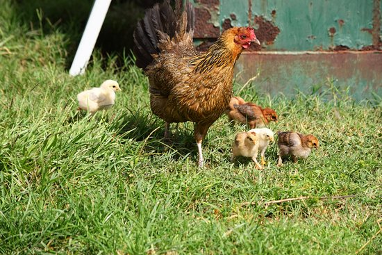 Okeechobee, FL: Hen with chicks