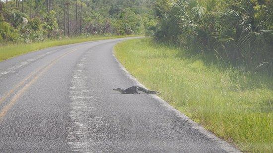 Florida City, فلوريدا: Aligátor na cestě