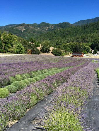 Applegate, Oregón: The English Lavender Farm July 2016