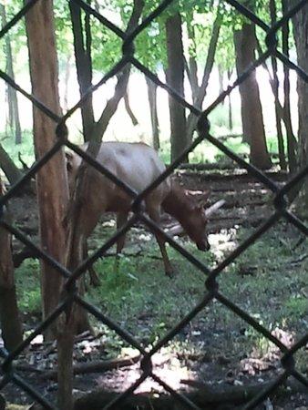 Elk Grove Village, IL: Busse Woods Elk