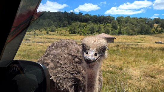 Winston, OR : The attacking Emu.