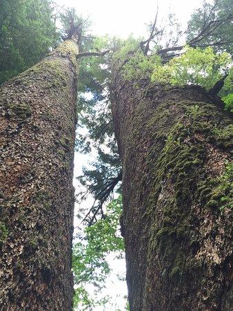 Ashford, WA: Grove of the Patriachs Trail