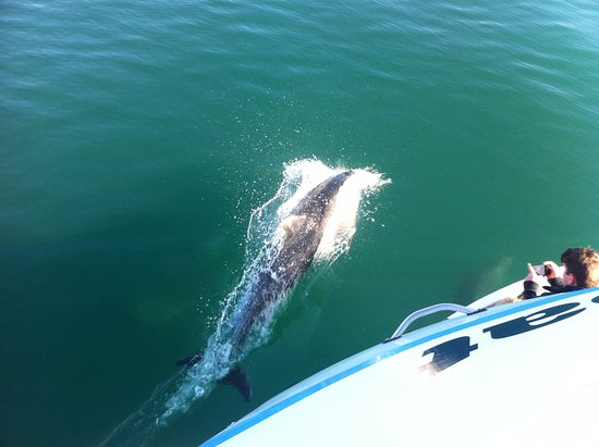 Havelock, Nieuw-Zeeland: Dolphins really close to the boat