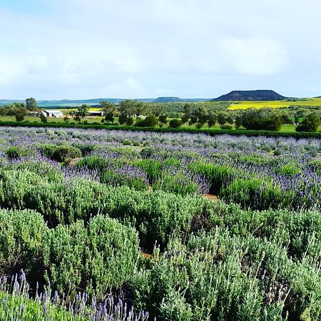 Geraldton, Australia: Lavender field