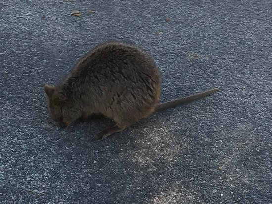 Rottnest Island, Avustralya: One of the many Quokkas around the island
