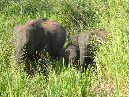 Habarana, Sri Lanka: Elephants
